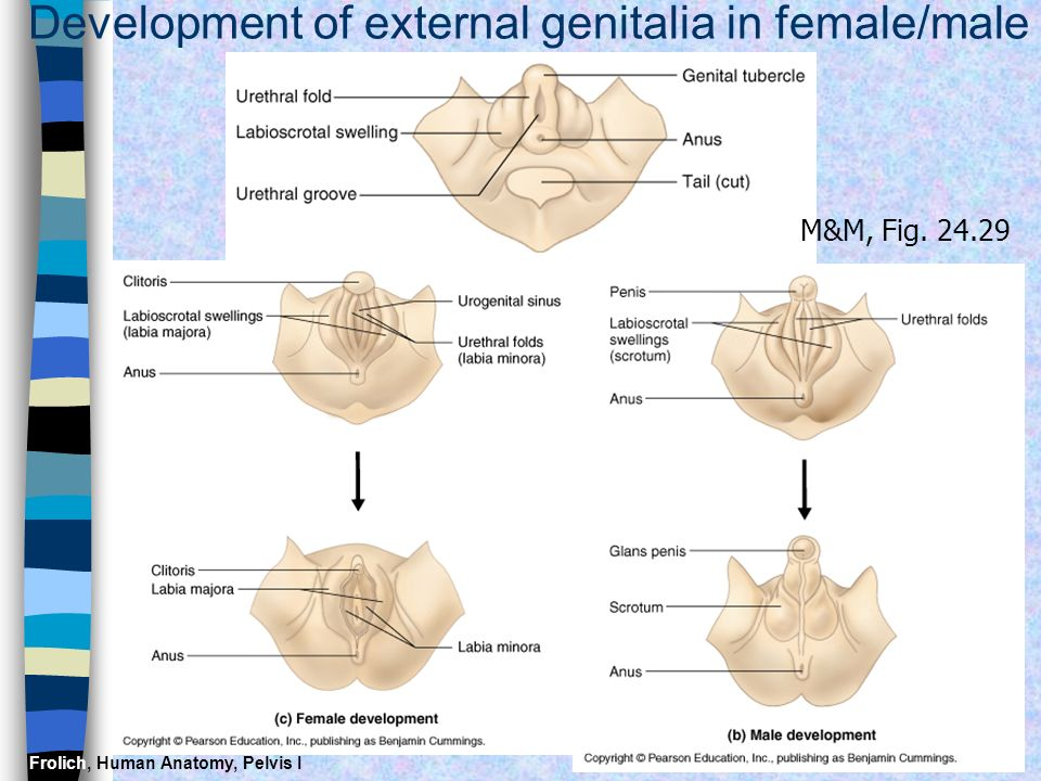 Development of external genitalia in female/male