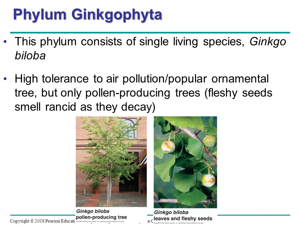 Phylum Ginkgophyta This phylum consists of single living species, Ginkgo biloba.