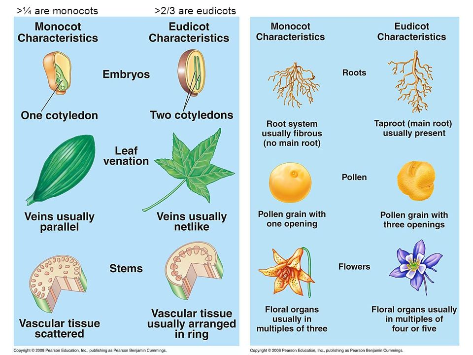 >¼ are monocots >2/3 are eudicots