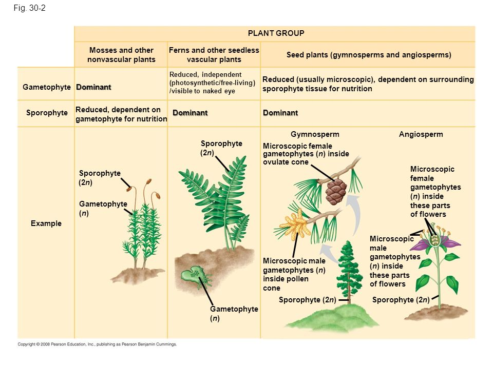 Fig. 30-2 PLANT GROUP. Mosses and other nonvascular plants. Ferns and other seedless vascular plants.