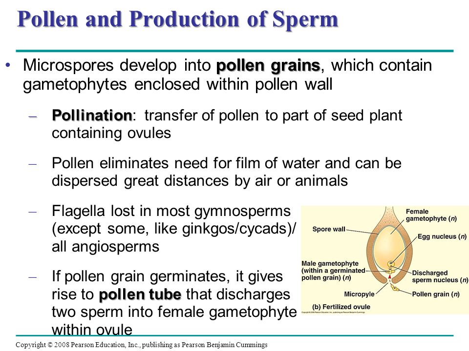Pollen and Production of Sperm