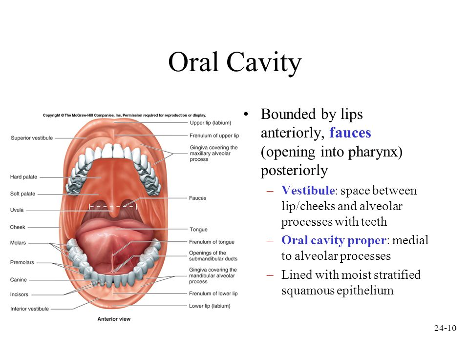Oral Cavity Bounded by lips anteriorly, fauces (opening into pharynx) posteriorly.