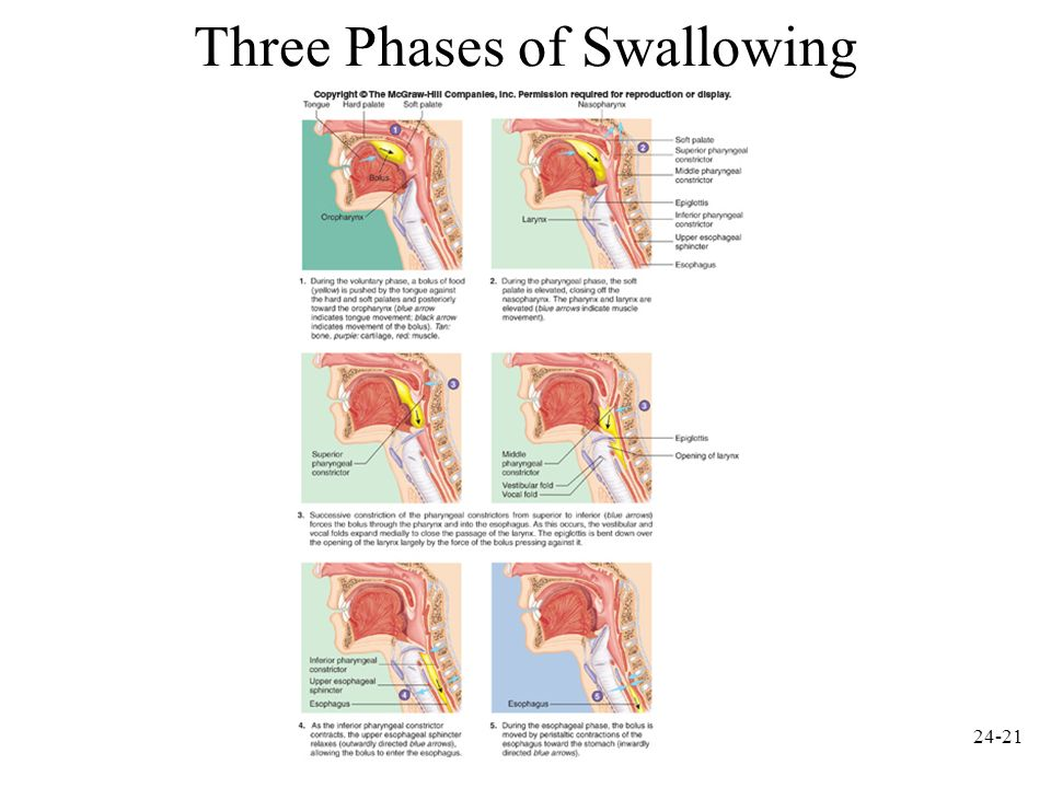 Three Phases of Swallowing
