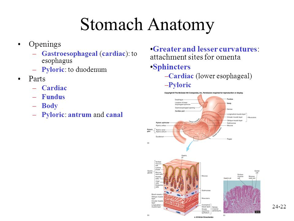 Stomach Anatomy Openings