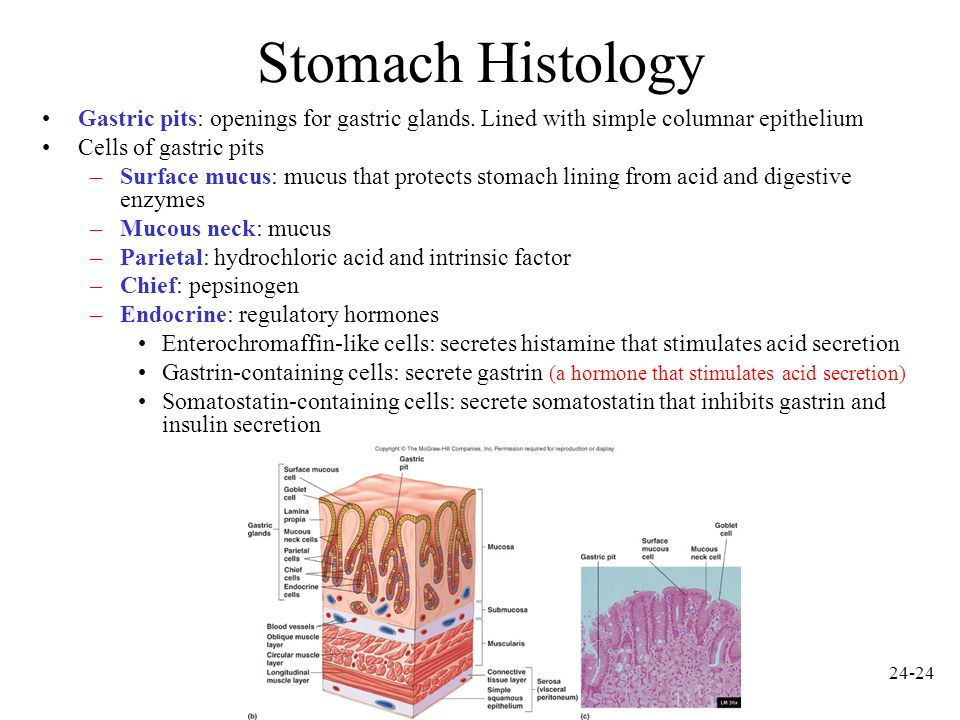 Stomach Histology Gastric pits: openings for gastric glands. Lined with simple columnar epithelium.