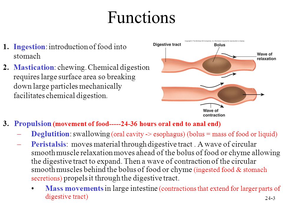 Functions Ingestion: introduction of food into stomach
