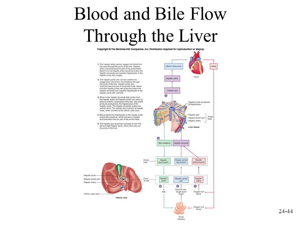 Blood and Bile Flow Through the Liver