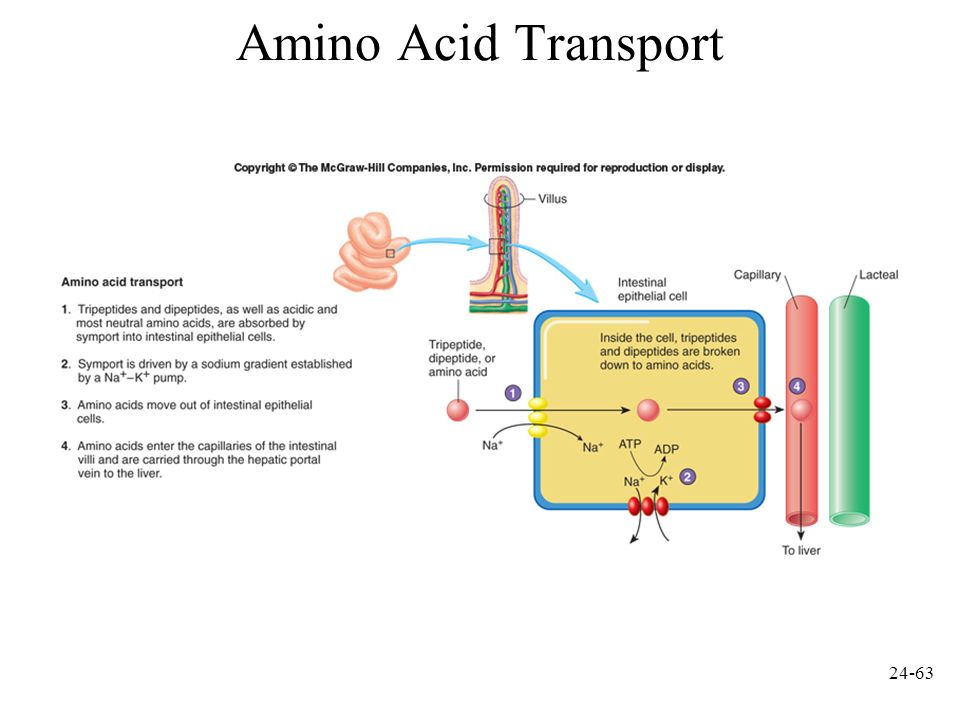Amino Acid Transport