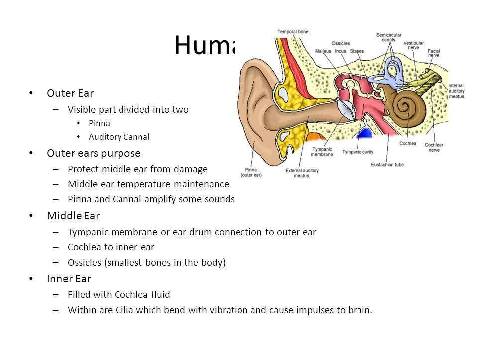 Human Ear Outer Ear Outer ears purpose Middle Ear Inner Ear
