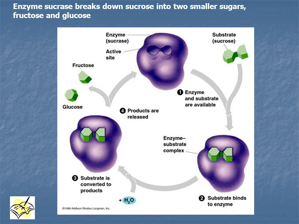 Enzyme sucrase breaks down sucrose into two smaller sugars, fructose and glucose