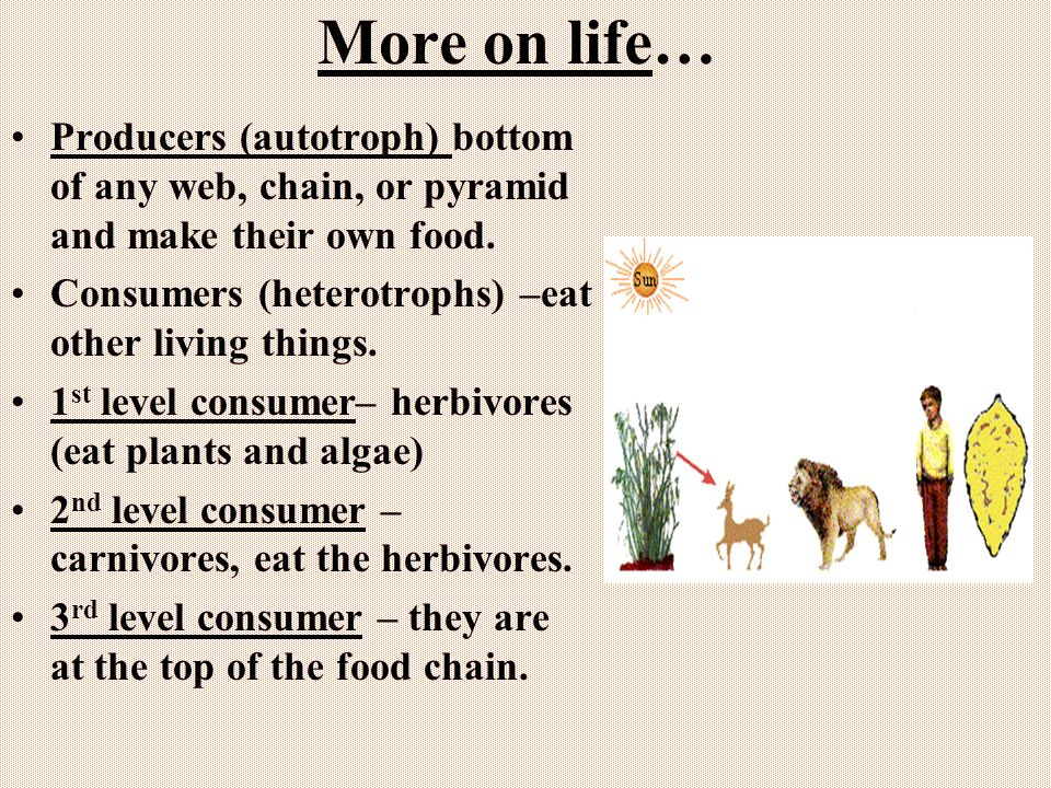 More on life… Producers (autotroph) bottom of any web, chain, or pyramid and make their own food. Consumers (heterotrophs) –eat other living things.