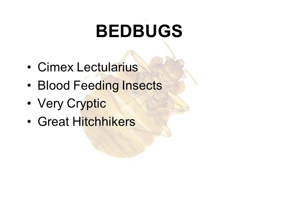 BEDBUGS Cimex Lectularius Blood Feeding Insects Very Cryptic