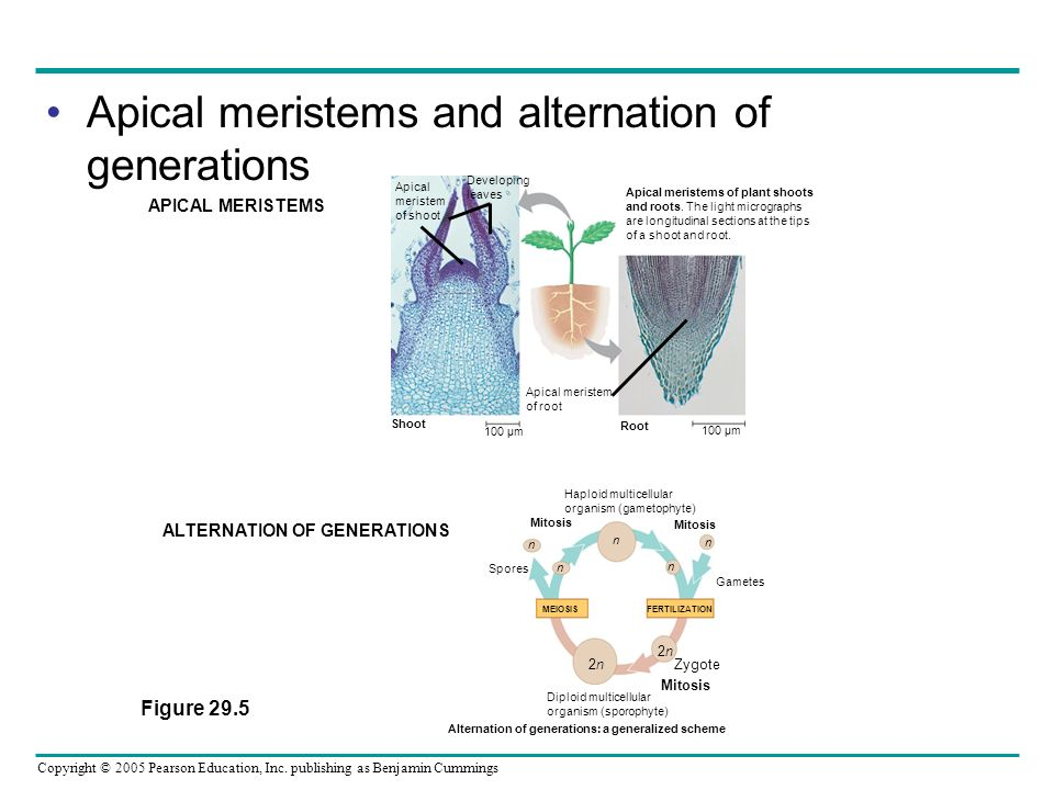 Apical meristems and alternation of generations