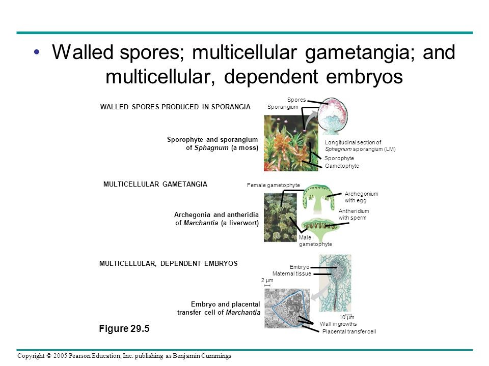 Walled spores; multicellular gametangia; and multicellular, dependent embryos