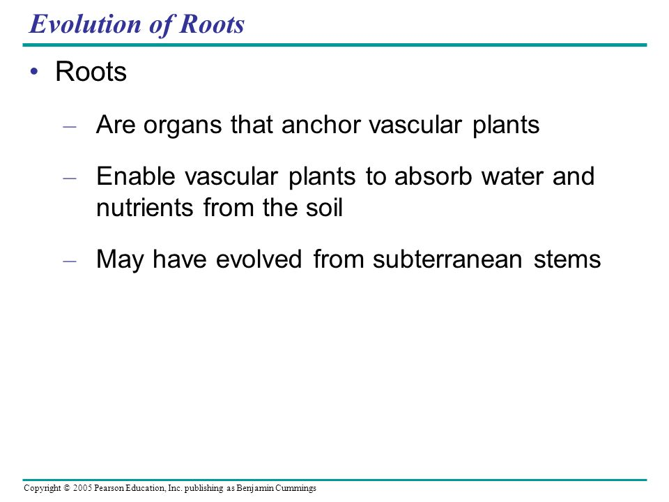 Evolution of Roots Roots Are organs that anchor vascular plants