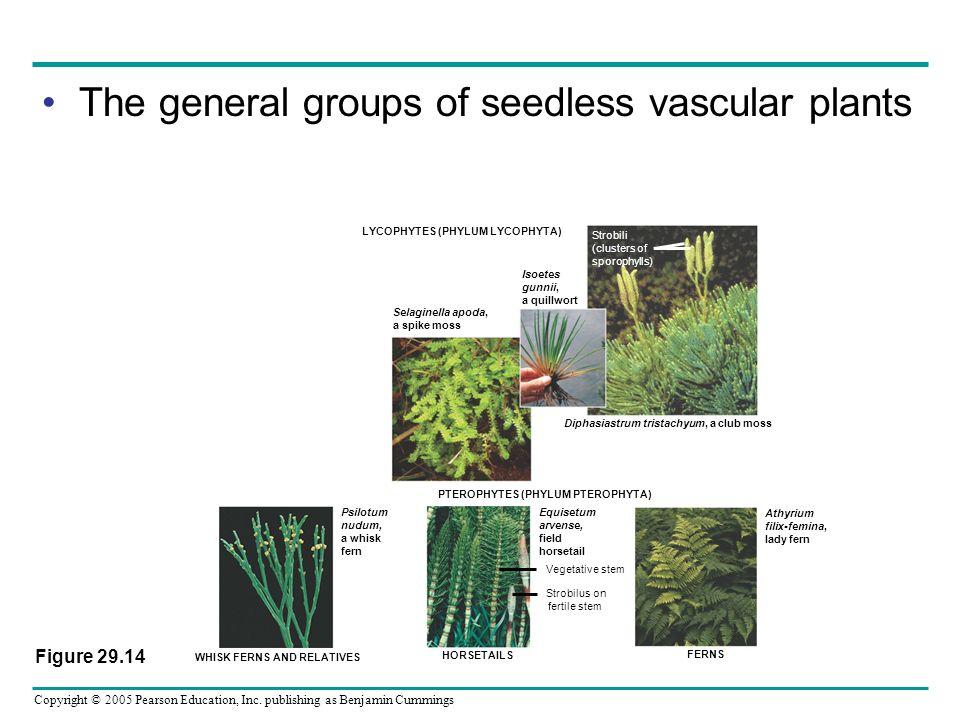 The general groups of seedless vascular plants