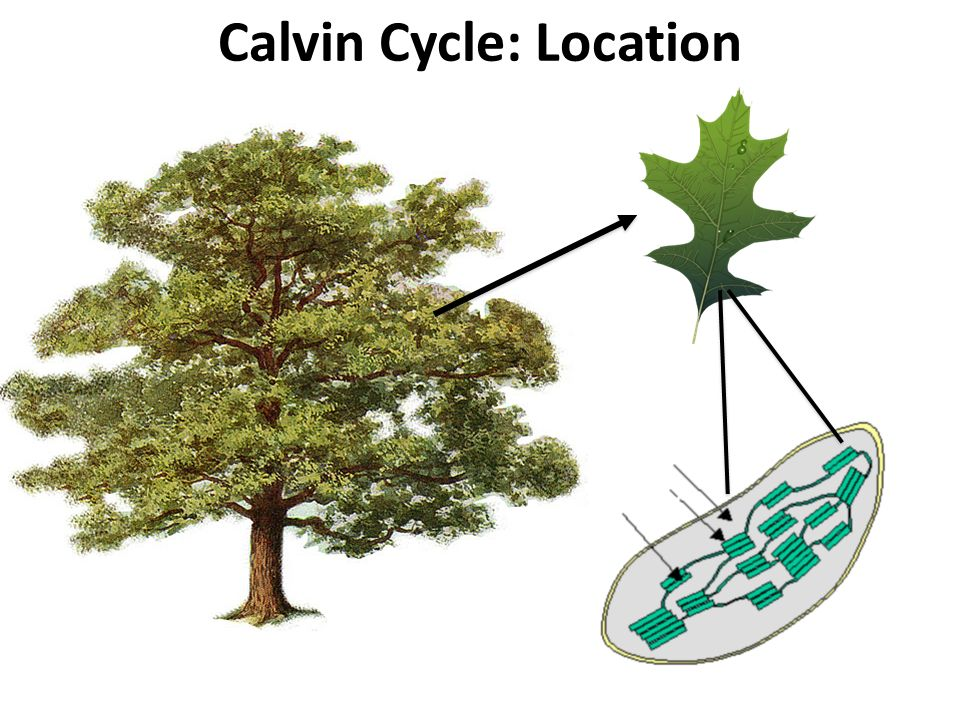 Calvin Cycle: Location