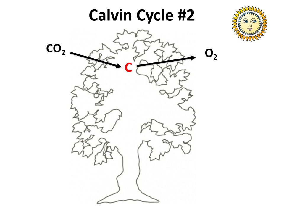 Calvin Cycle #2 CO2 O2 C