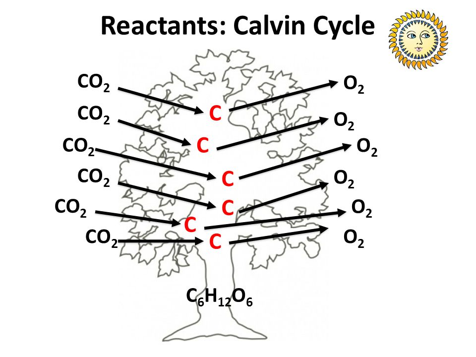 Reactants: Calvin Cycle