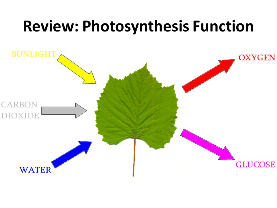 Review: Photosynthesis Function