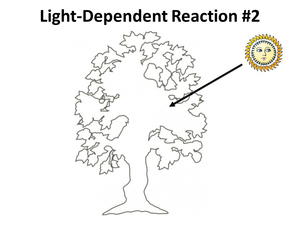 Light-Dependent Reaction #2