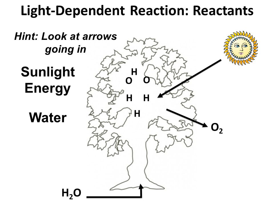 Light-Dependent Reaction: Reactants