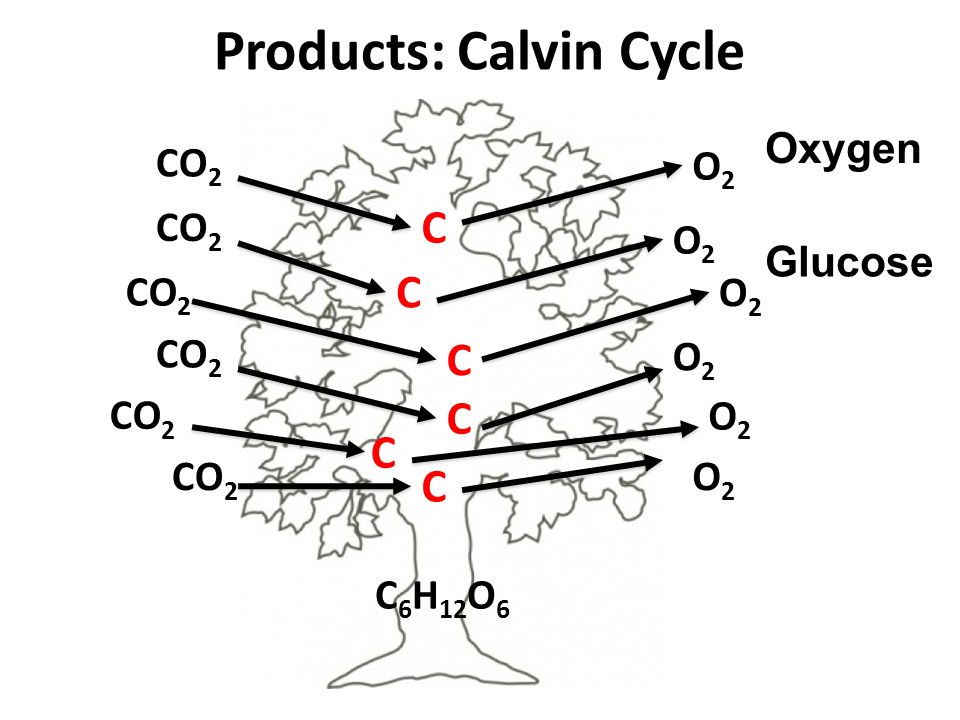 Products: Calvin Cycle