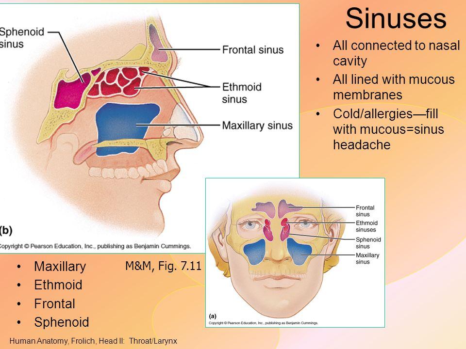 HEAD/NECK II: Throat/ Pharynx - ppt video online download