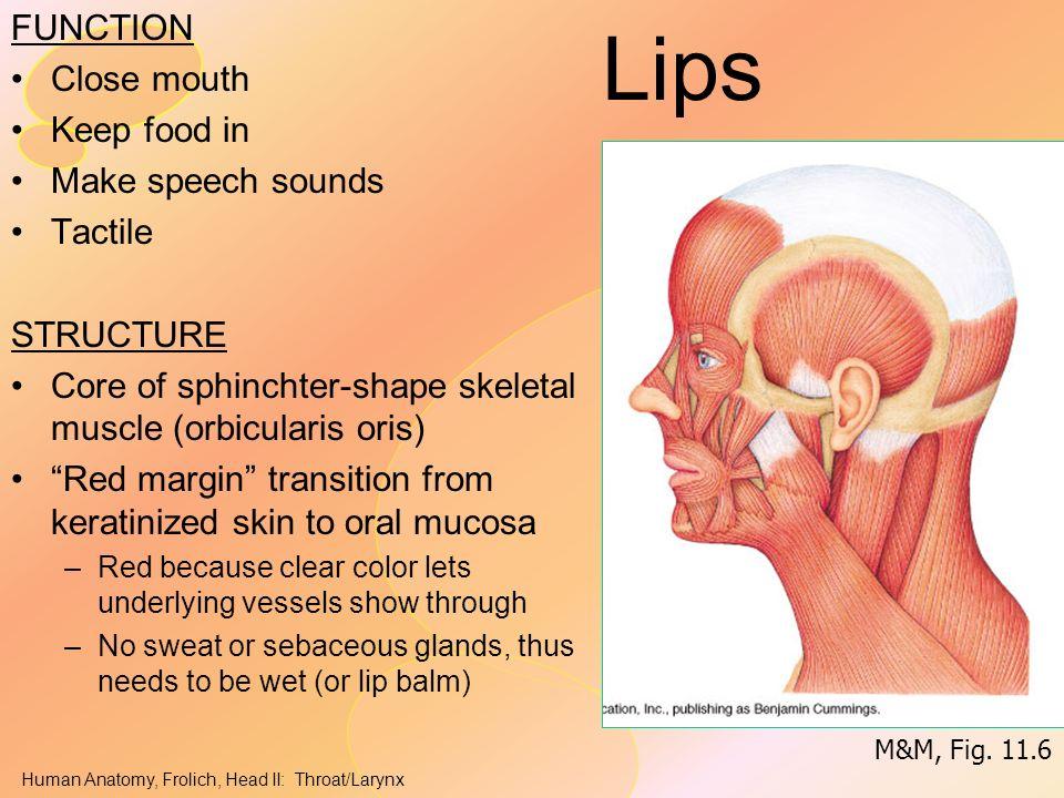 Headneck Ii Throat Pharynx Ppt Video Online Download
