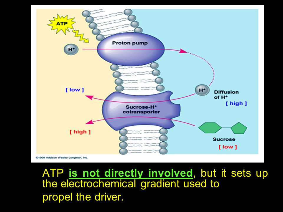 ATP is not directly involved, but it sets up the electrochemical gradient used to
