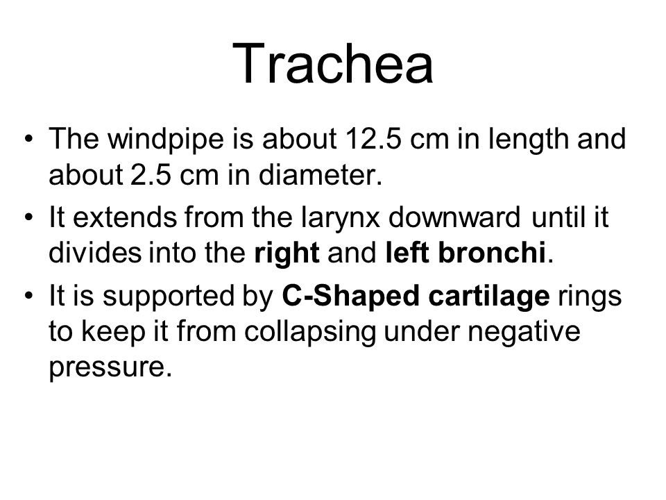 Trachea The windpipe is about 12.5 cm in length and about 2.5 cm in diameter.