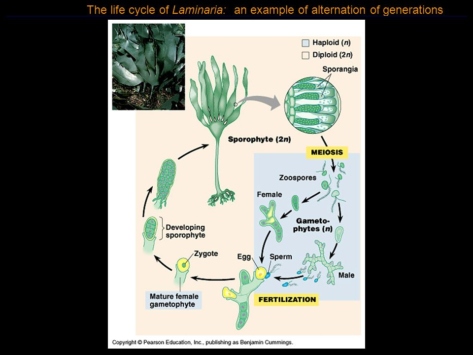 Figure 28.21 The life cycle of Laminaria: an example of alternation of generations