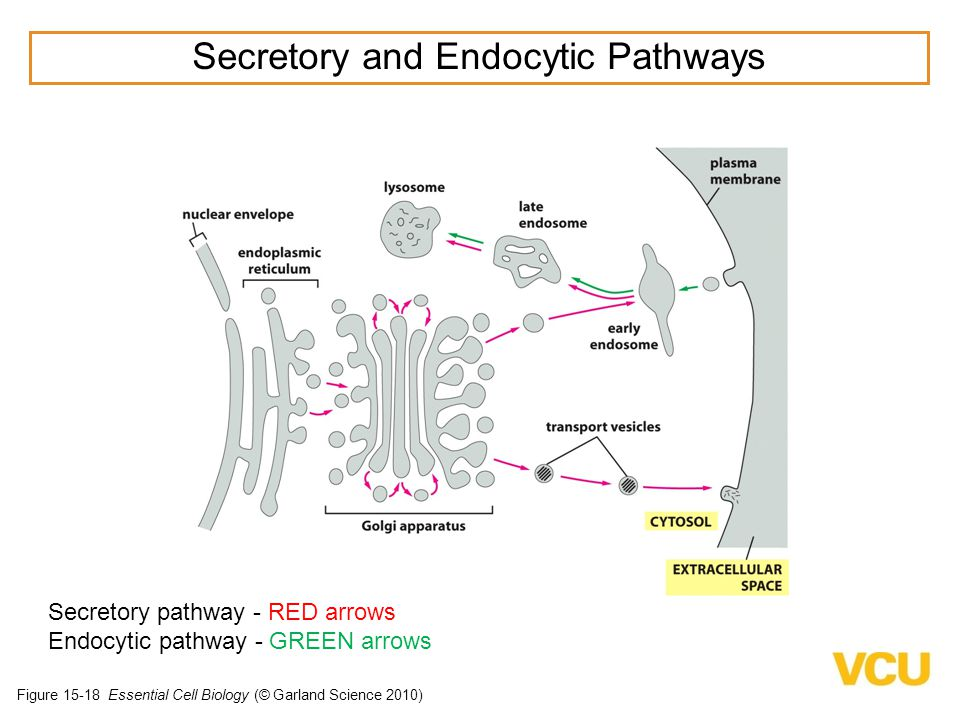 secretory pathway in eukaryotic cells