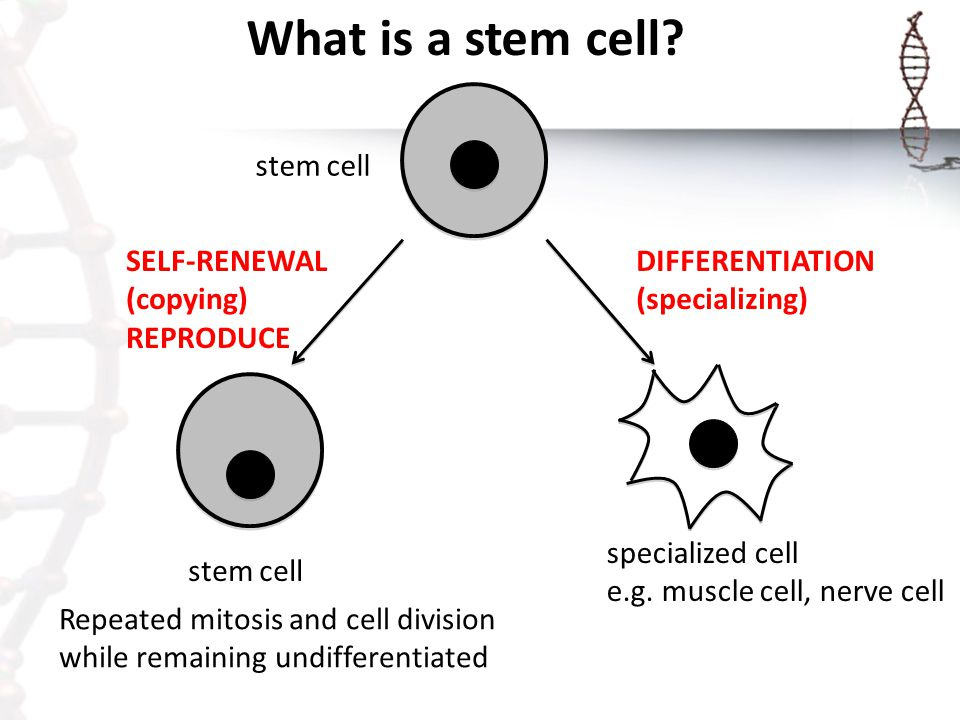 Stem cells mitosis diagram auto electrical wiring diagram selective gene expression ppt video online download rh slideplayer com mitosis cell cycle diagram stages of mitosis diagram ccuart Images