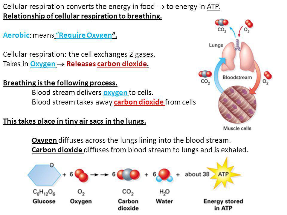 cellular respiration and energy creation Cellular respiration vs fermentation respiration is a vital way for the cells of plants and animals to obtain and utilize energy without this energy, cells in the bodies of plants and animals would fail to function and will eventually break down and die.