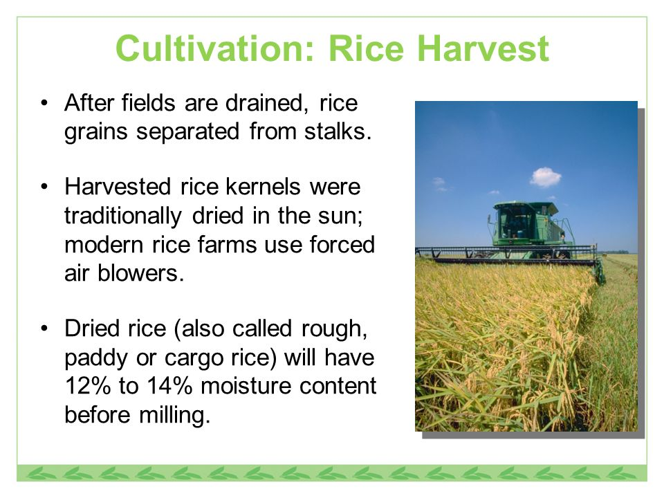 Cultivation: Rice Harvest