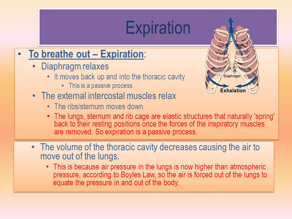 Expiration To breathe out – Expiration: Diaphragm relaxes