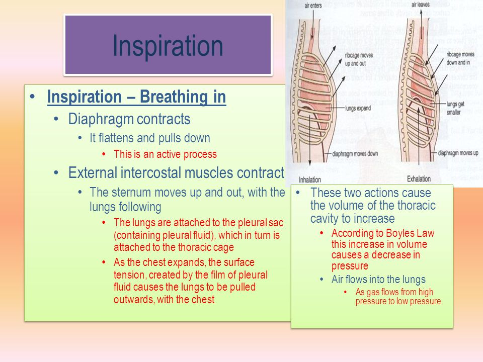 Inspiration Inspiration – Breathing in Diaphragm contracts