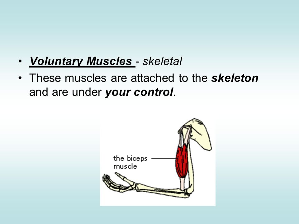 Voluntary Muscles Skeletal Names Of Muscles Ppt Video Online