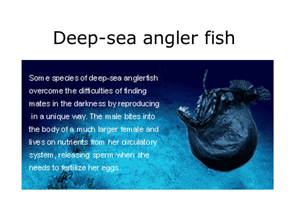 Deep-sea angler fish
