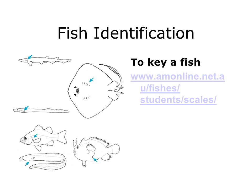 Fish Identification To key a fish