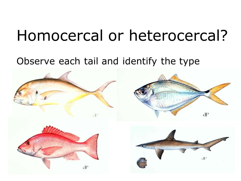 Homocercal or heterocercal Observe each tail and identify the type