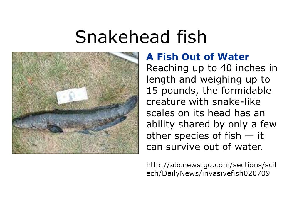Snakehead fish A Fish Out of Water