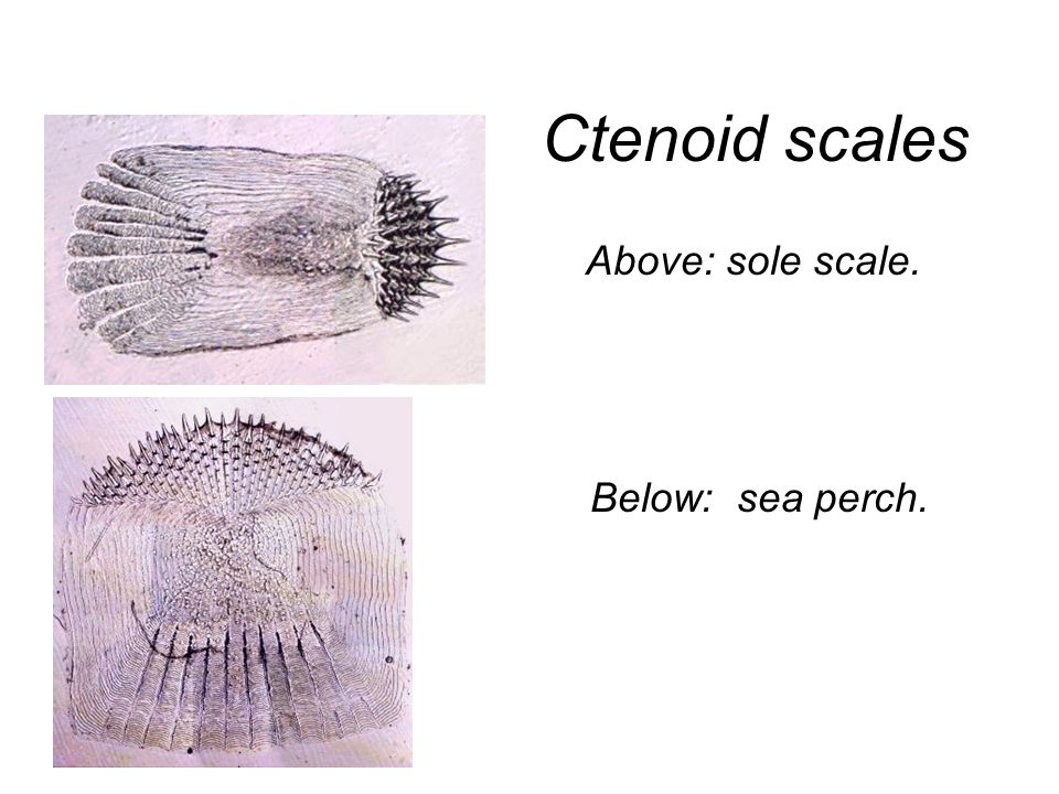 Ctenoid scales Above: sole scale. Below: sea perch.