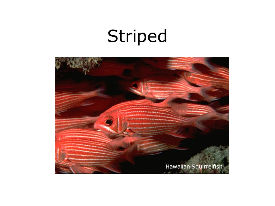 Striped Hawaiian Squirrelfish