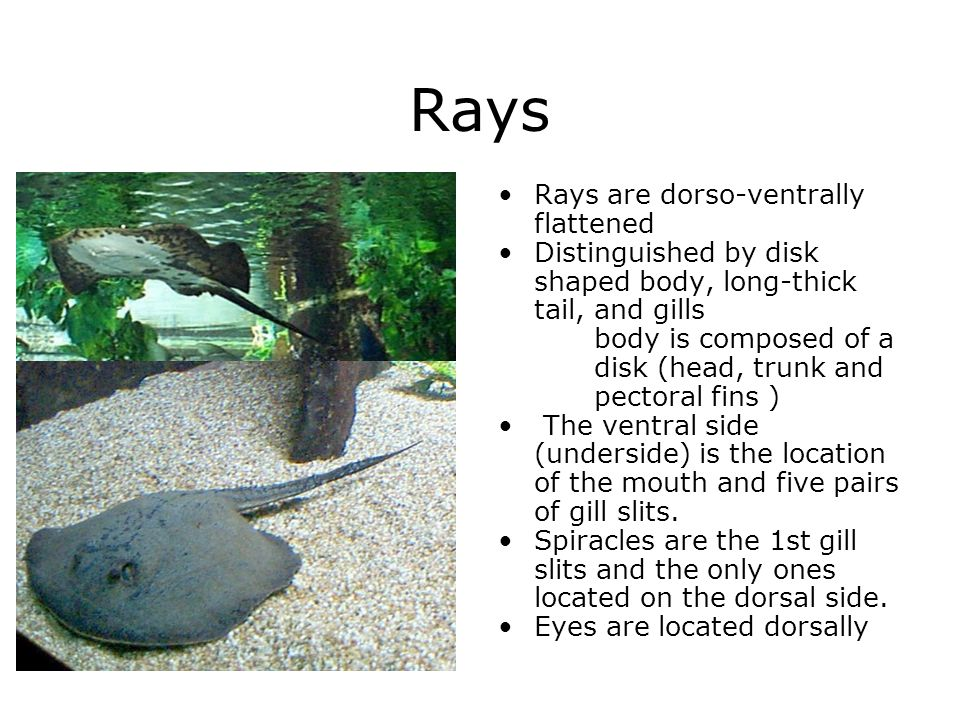 Rays Rays are dorso-ventrally flattened