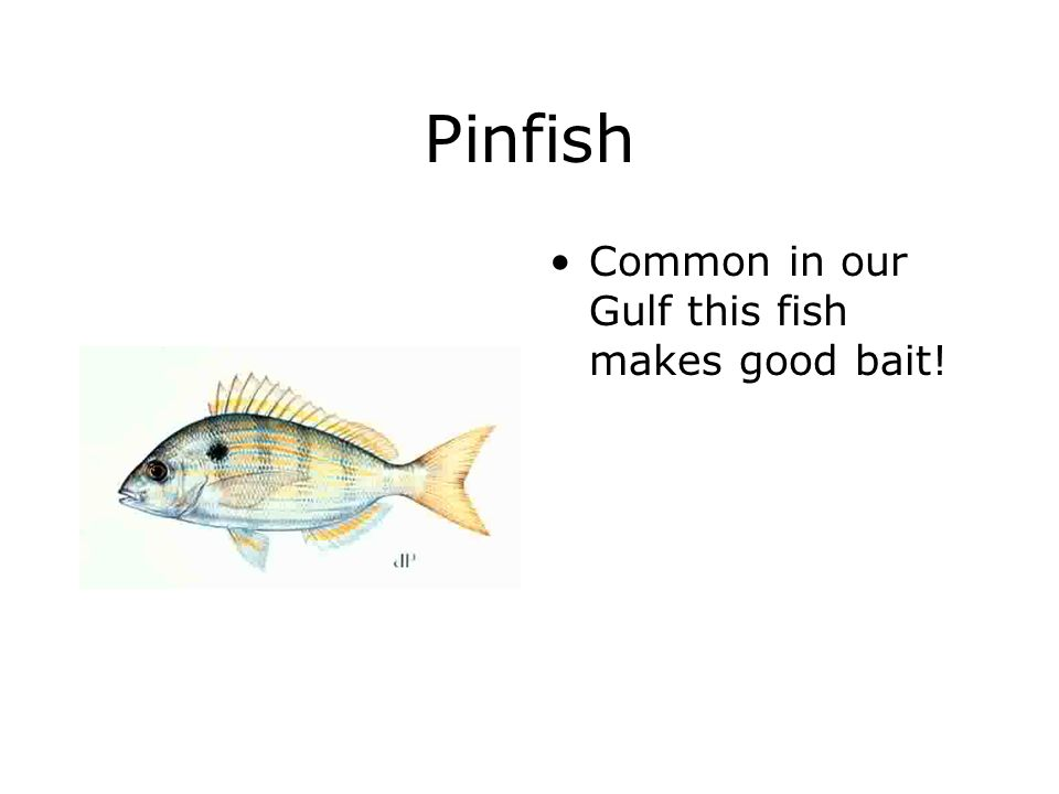 Pinfish Common in our Gulf this fish makes good bait!