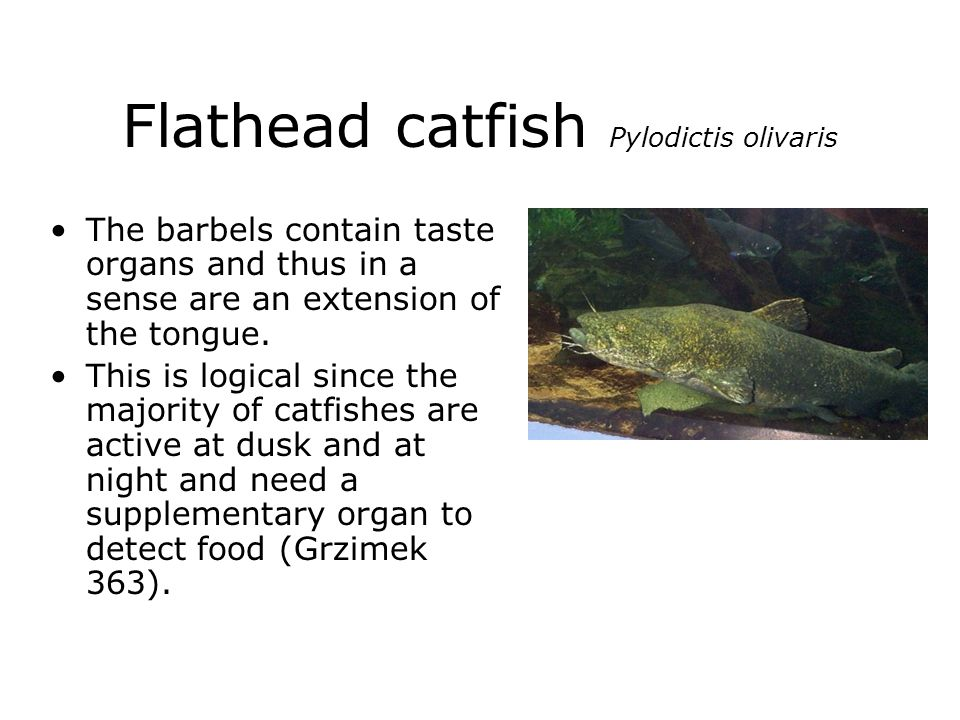 Flathead catfish Pylodictis olivaris