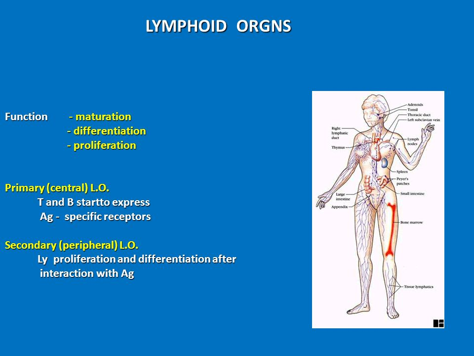 LYMPHOID ORGNS Function - maturation - differentiation - proliferation