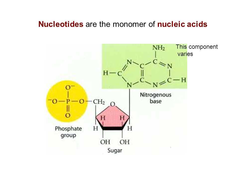 Nucleotides are the monomer of nucleic acids